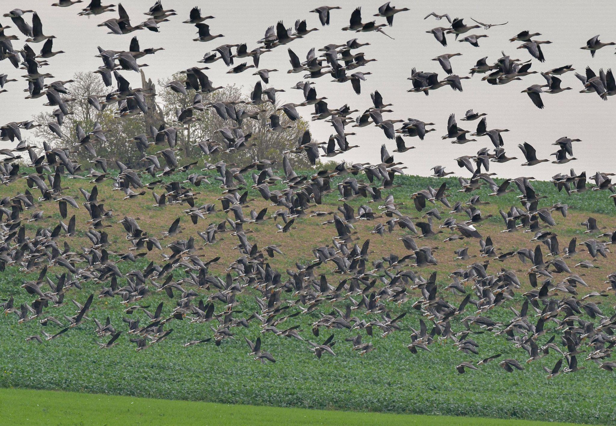 Geflügelpest in Norddeutschland